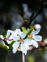 0324_スモモの花.jpg